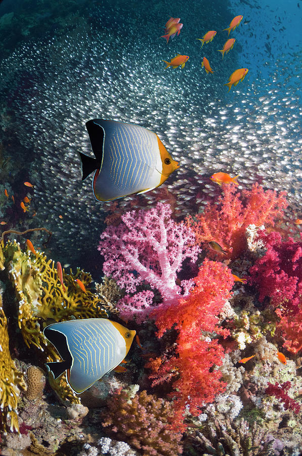 Butterflyfish Over Coral Reef Photograph by Georgette Douwma
