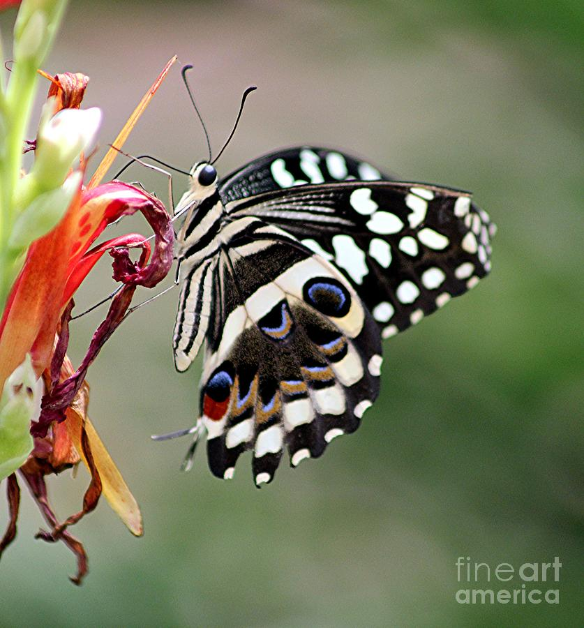 Butterly by Diane Greco-Lesser