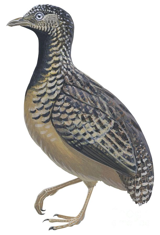 Bird Drawing - Button Quail by Anonymous
