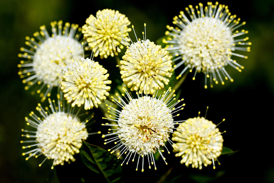 Round Photograph - Buttonbush by Rudy Umans