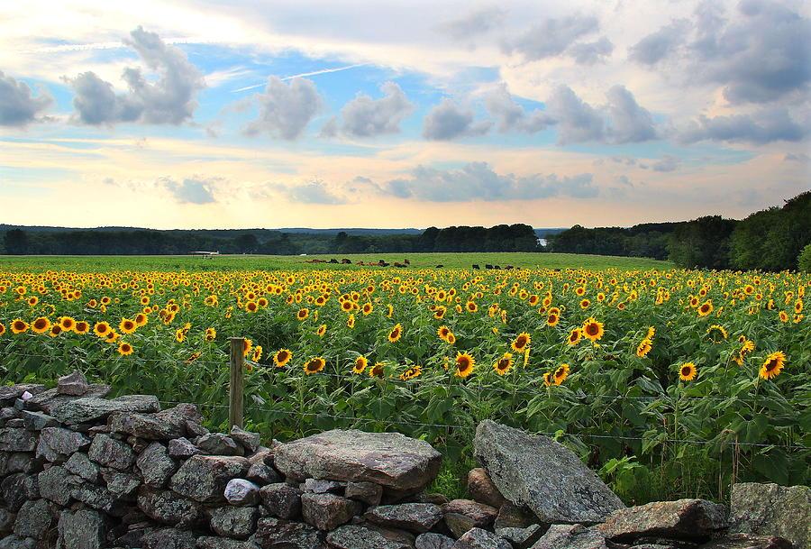 Sunflowers Photograph - Buttonwood Farm Sunflowers by Andrea Galiffi