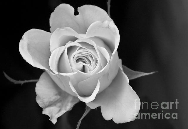 Rose Photograph - Bw Rose by Timothy Hacker