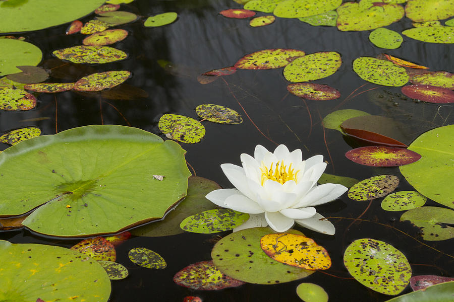 Boundary Waters Canoe Area Photograph - Bwca Water Lily by Joe Miller