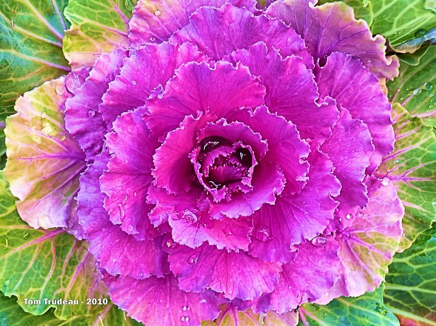 Cabbage 1 Mixed Media