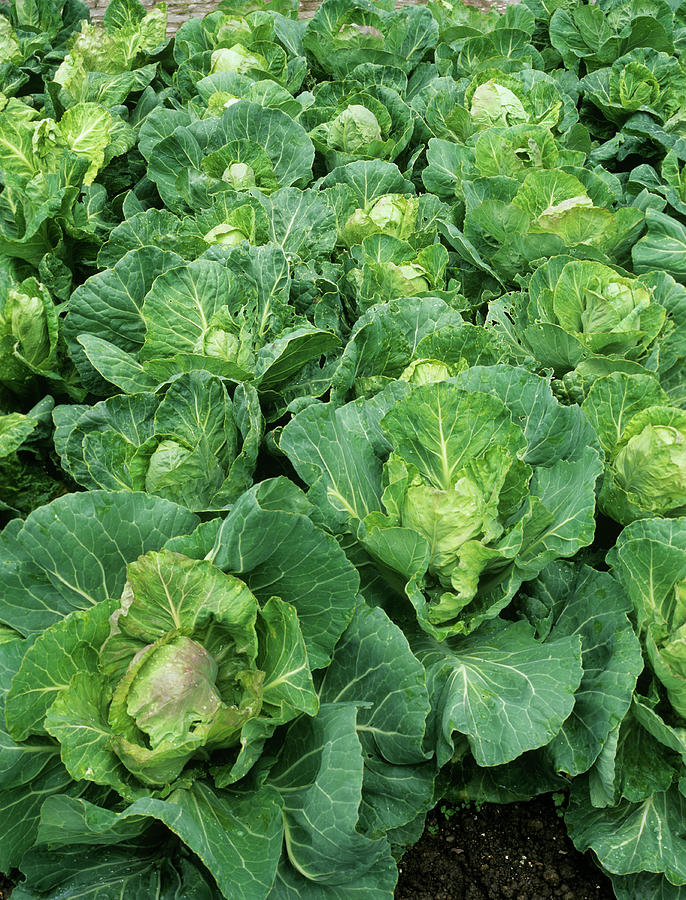Brassica Oleracea Photograph - Cabbage (brassica golden Acre Primo II) by Geoff Kidd/science Photo Library