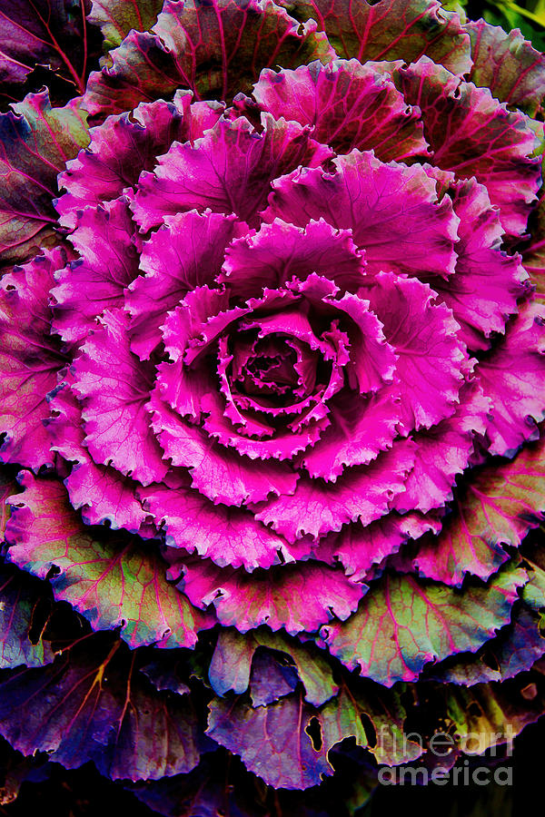 Cabbage Photograph - Cabbage by Jon Burch Photography