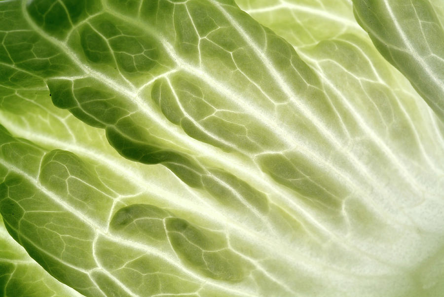 Brassica Oleracea Photograph - Cabbage Leaf Veins by Uk Crown Copyright Courtesy Of Fera/science Photo Library