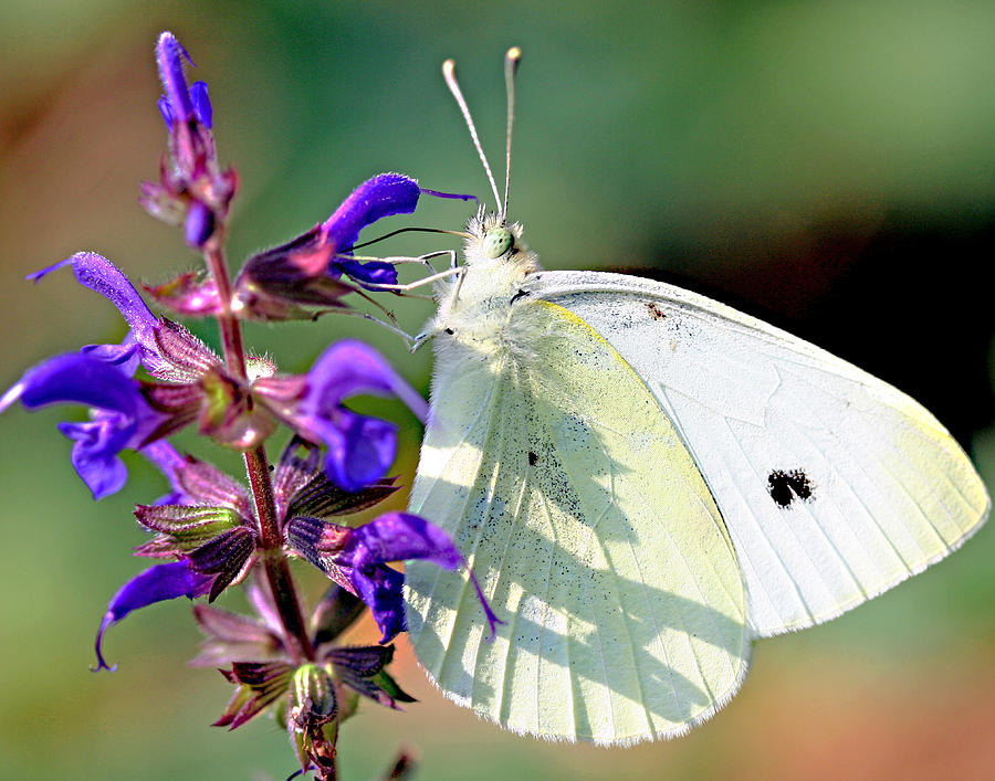 Cabbage Photograph - Cabbage White Butterfly by Brian Magnier