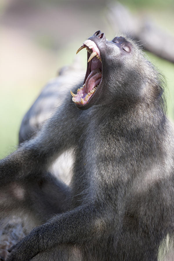 Cackma Baboon Yawning Photograph by Sean McSweeney