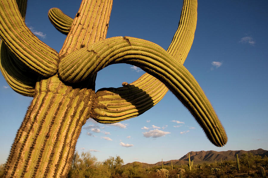 Cacti In West Unit Of Saguaro National Photograph by Mark Newman