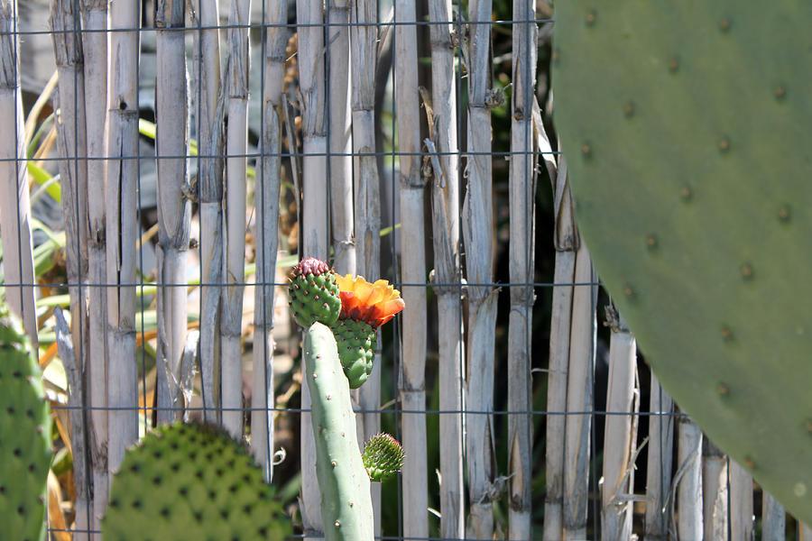 Cactus Bloom Photograph
