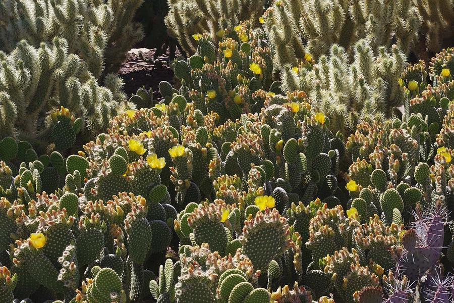 Cactus Photograph - Cactus Carpet by David Rizzo