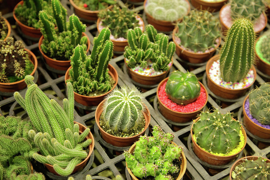 Cactus Photograph by Chia-hua Li