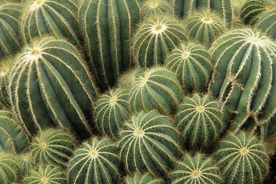 Cactus Cluster Photograph by Daniela Duncan