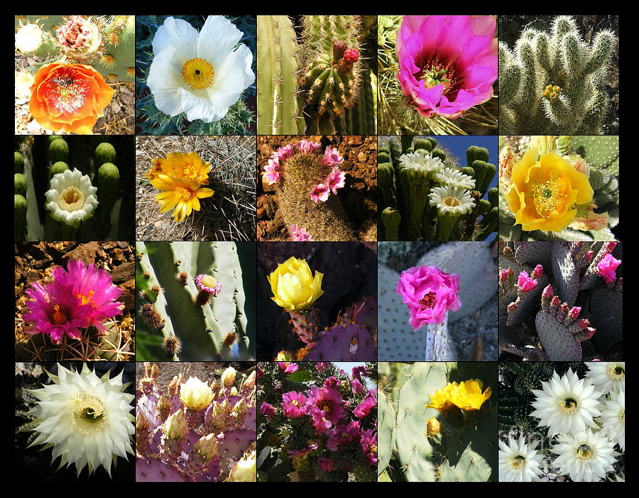 Flowers Photograph - Cactus Collage by Marilyn Smith