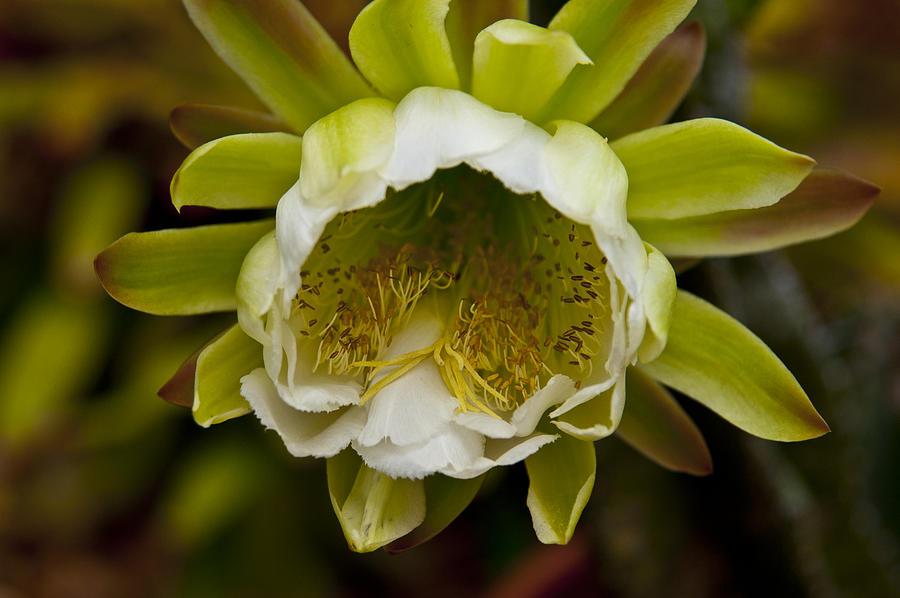 Cactus Photograph - Cactus Flower 1 by Sharon Cummings