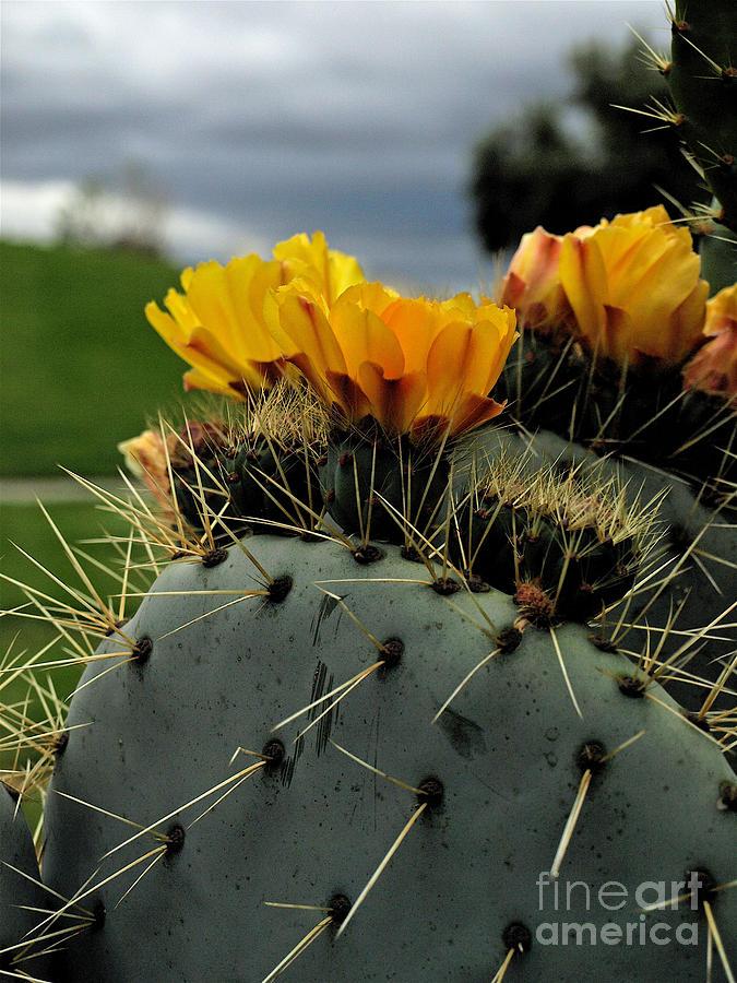 Cactus Photograph - Cactus Flower by Jacklyn Duryea Fraizer