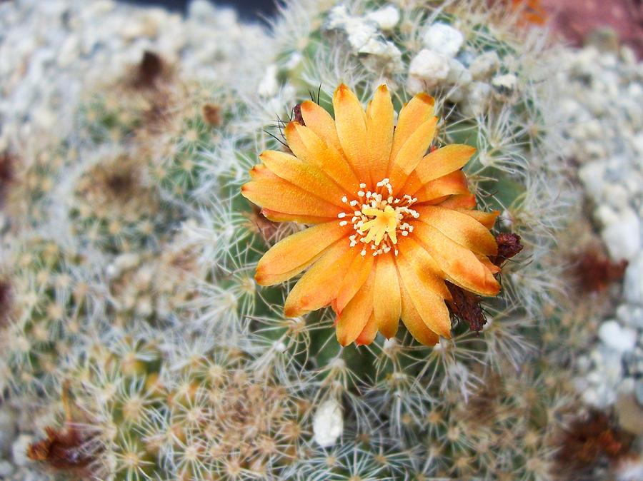Flower Photograph - Cactus Flower by Marina Oliveira