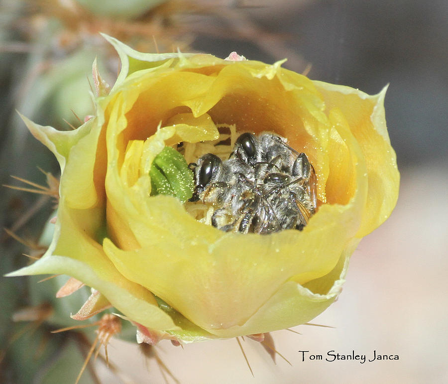 Cactus Flower With Ball Of Bees Photograph by Tom Janca