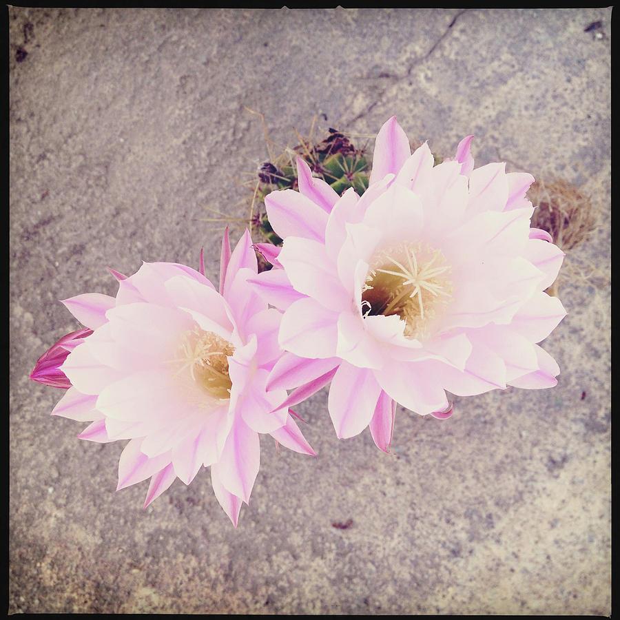 Cactus Flowers Photograph by Elvira Boix Photography