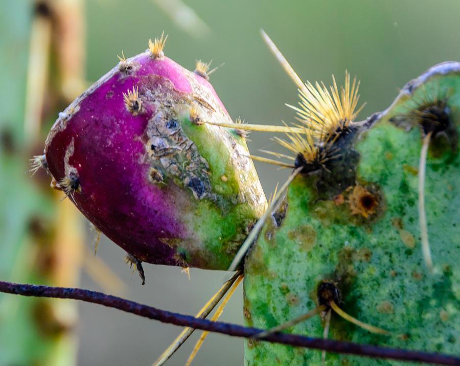 Cactus Fruit Photograph - Cactus Fruit by Don L Williams