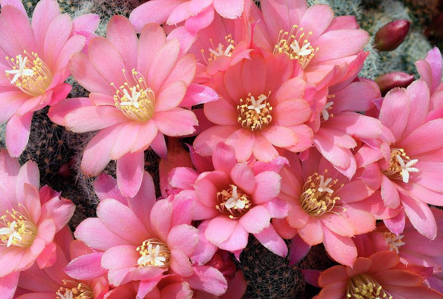 Biology Photograph - Cactus Rebutia Albiflora by Nigel Downer/science Photo Library