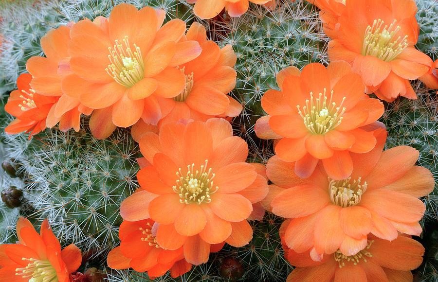 Biology Photograph - Cactus Rebutia Tamboensis by Nigel Downer/science Photo Library