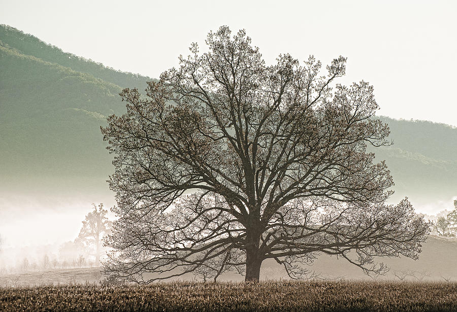 Cades Cove Photograph - Cades Cove Tree by Phyllis Peterson