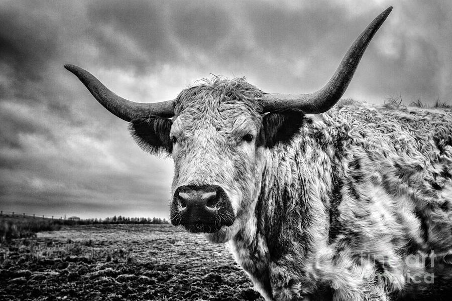 Cadzow Cattle Photograph - Cadzow White Cow by John Farnan