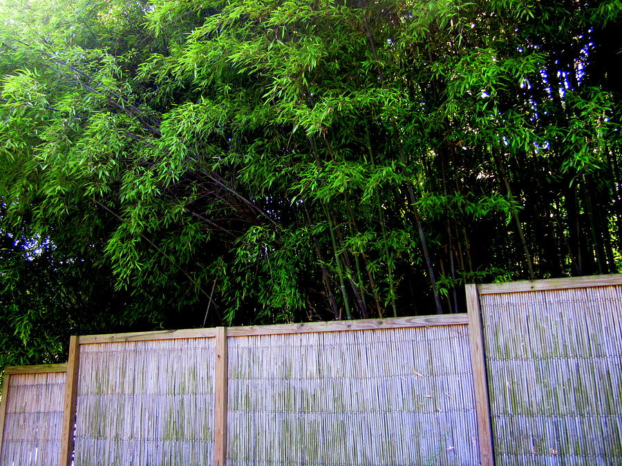 Bamboo Trees Photograph - Caged By Their Own by Peter LaPlaca