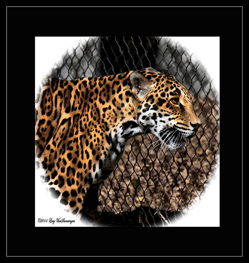 Jaguar Photograph - Caged Jaguar by Lucy VanSwearingen