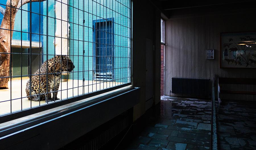 Leopard Photograph - Caged by Pedro Nunez