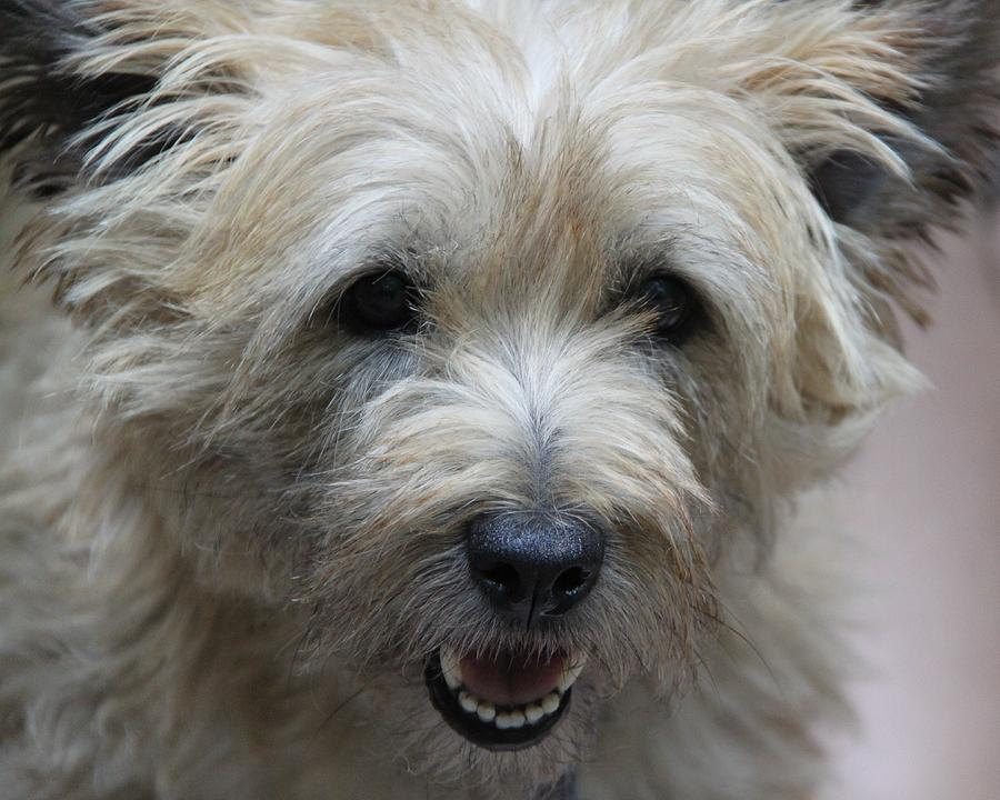 Cairn Terrier Photograph - Cairn Terrier - Best Little Pal In The World... by Andrea Lazar