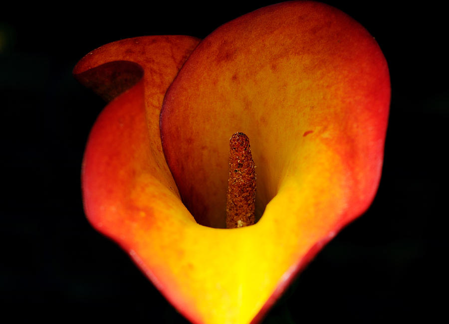 Flower Photograph - Cala Lily by Haleh Mahbod