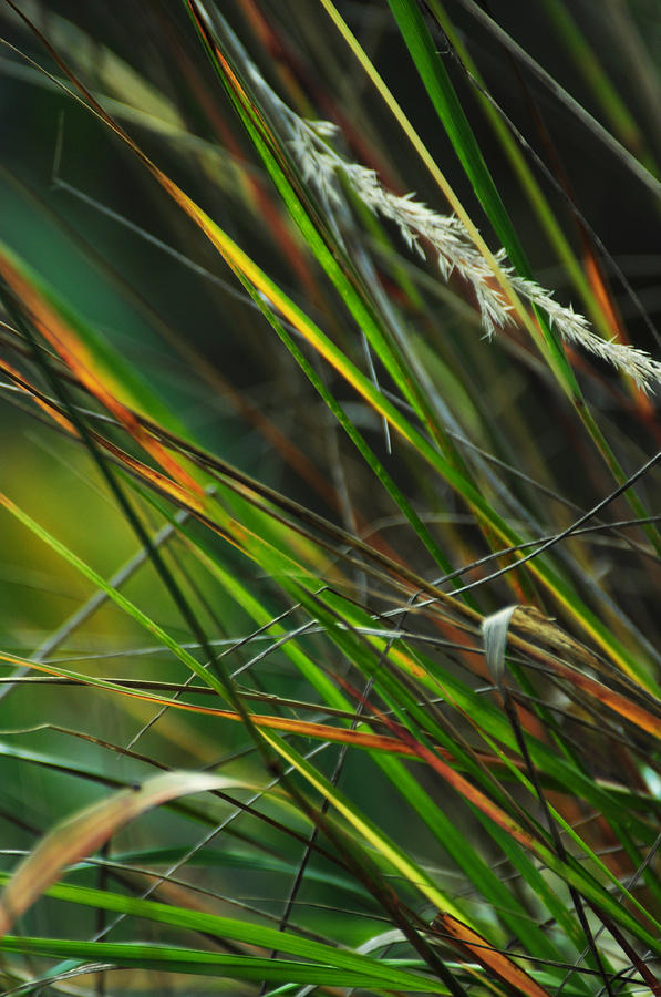 Autumn Photograph - Calamagrostis Lines by Rebecca Sherman