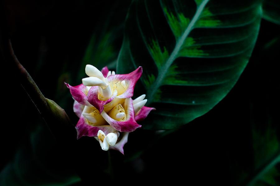 Nature Photograph - Calathea Warszewiczii by Donald Chen