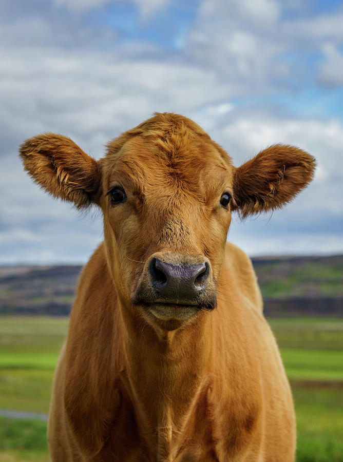 Calf Looking At The Camera, Iceland Photograph by Arctic-images