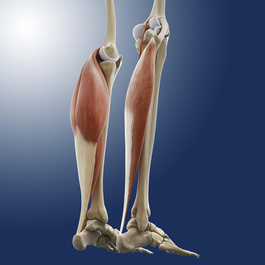 gastrocnemius muscle - 900×900