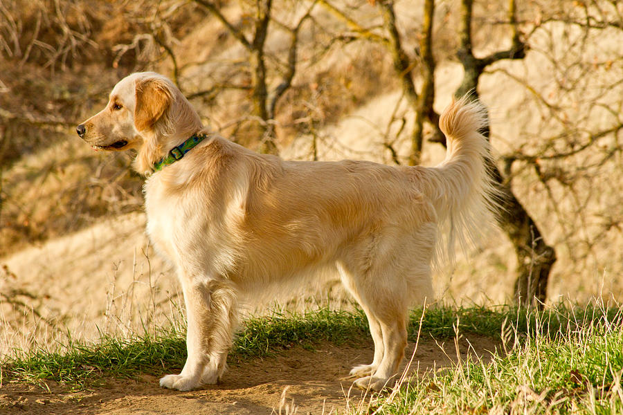 Dog Photograph - Cali Gold by Bill Gallagher