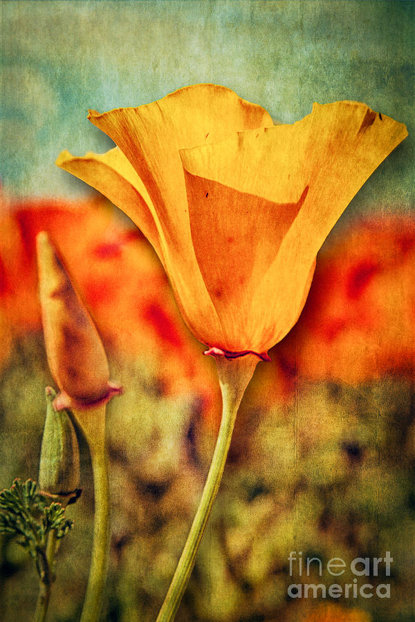 Texture Photograph - California Poppy by Pam Vick