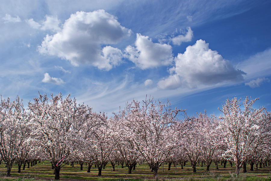 California Almond Blossoms In Bloom Photograph by Barbara Rich