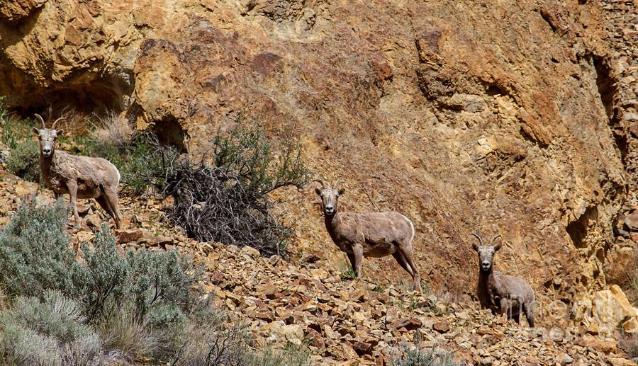 Sheep Photograph - California Bighorn Sheep by Robert Bales