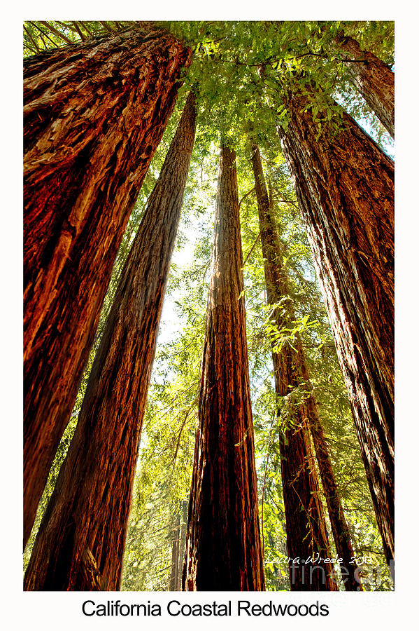 Redwoods Photograph - California Coastal Redwoods by Artist and Photographer Laura Wrede
