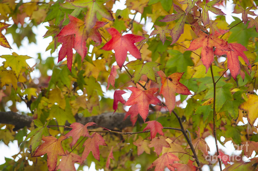 Leaves Photograph - California Color by Deborah Smolinske