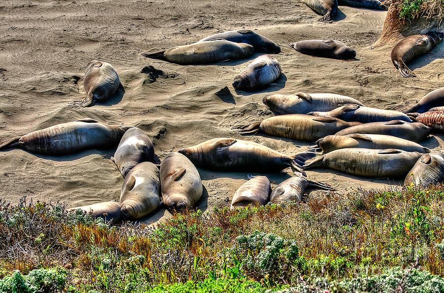 Seals Photograph - California Dreaming by Jim Carrell