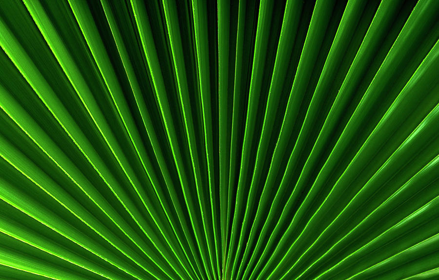 California Fan Palm Frond, Close Up Photograph by Thomas J Peterson