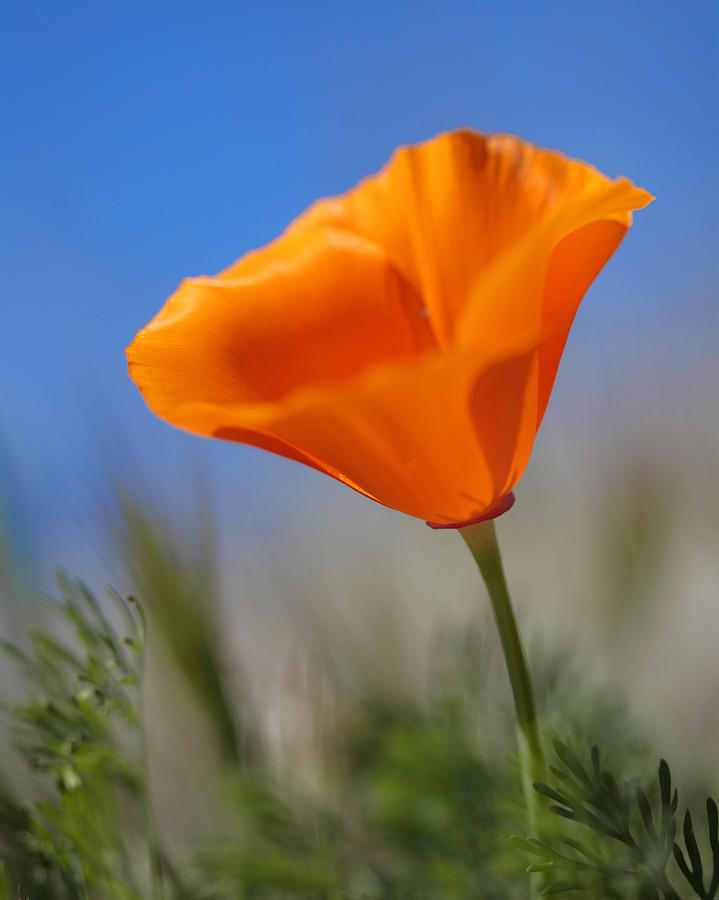 California golden poppy photograph by charles aghoian poppies photograph california golden poppy by charles aghoian mightylinksfo