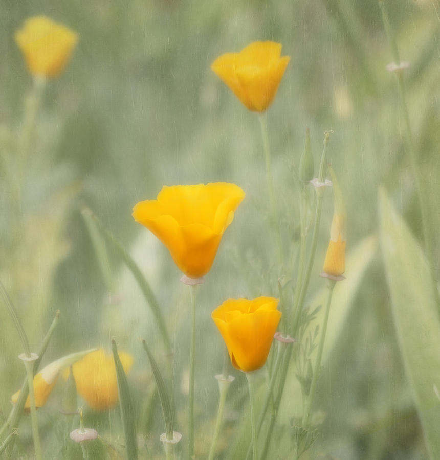 Flower Photograph - California Poppies by Kim Hojnacki