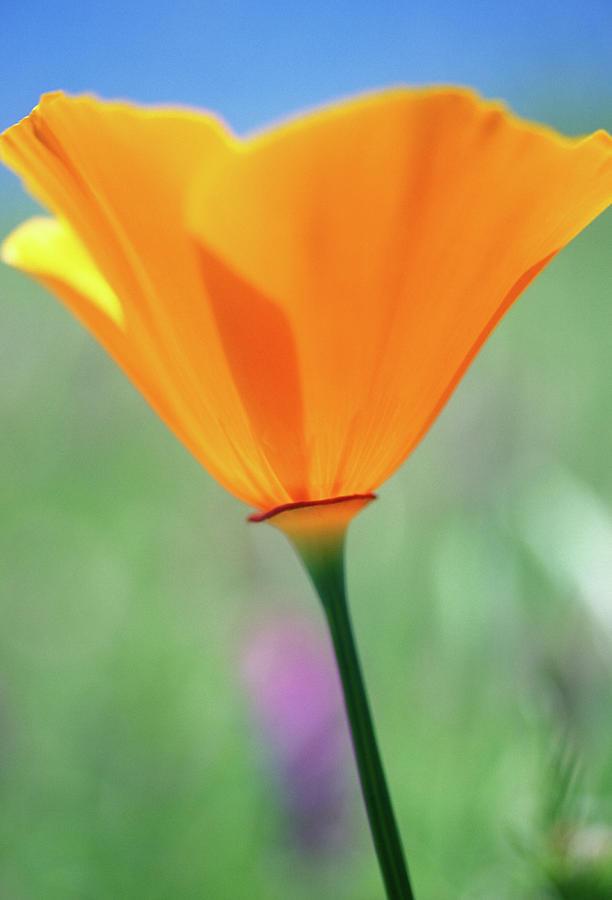 Poppy Photograph - California Poppy by Kathy Yates