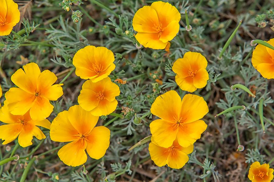 Angiosperms Photograph - California Poppy by Rich Leighton
